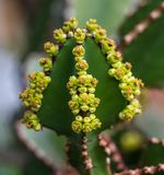 Dichte mening van de kandelabersboom van Transvaal, of bushveld kandelaberswolfsmelk stock afbeelding