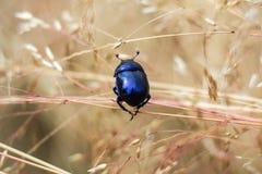 Dichte mening van de kever van de insectmest stock foto