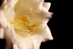 Dichte mening van een bloem van Echinopsis-eyriesii Royalty-vrije Stock Fotografie