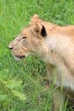 Dichte mening van een hoofd van leeuwinnen stock afbeeldingen