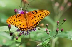 Dichte mening van heldere oranje vlinder met zwarte vlekken Stock Foto's
