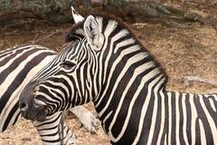 Hoofd van zebra stock afbeeldingen