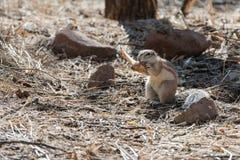 Dichte mening van Namibian pluizige grondeekhoorn die aan een been knagen stock afbeeldingen
