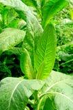 Dichte mening van rijpe tabaksbladeren royalty-vrije stock fotografie