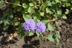 Dichte mening van violette bloemen van Ageratum-houstonianum royalty-vrije stock foto
