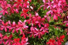 Dichte mening van zalm roze bloemen van klimop-leaved ooievaarsbek royalty-vrije stock fotografie