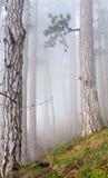 Dichte mist in het bos van de de zomerpijnboom Royalty-vrije Stock Fotografie