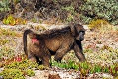 Dichte Omhooggaand van Afrika van een Baviaan die langs de Kust lopen stock foto