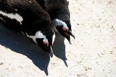 Dichte Omhooggaand van Afrika van Twee Pinguïnen die zij aan zij dichtbij Kaap liggen aan royalty-vrije stock afbeeldingen