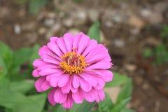 Dichte omhooggaand van bloemzinnia Stock Afbeeldingen