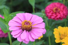 Dichte omhooggaand van bloemzinnia royalty-vrije stock fotografie