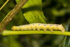 Dichte omhooggaand van Caterpillar van de Catalpasfinx stock foto