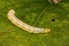 Dichte omhooggaand van Caterpillar van de Catalpasfinx royalty-vrije stock foto's