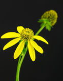 Dichte omhooggaand van Cutleafconeflower op zwarte achtergrond Stock Fotografie