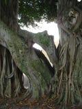 Dichte omhooggaand van de Banyanboom Royalty-vrije Stock Afbeeldingen