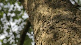 Dichte omhooggaand van de boomboomstam, van de de boomschors van de esdoornboomstam dichte omhooggaande, geweven dichte omhooggaa stock videobeelden