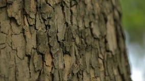 Dichte omhooggaand van de boomboomstam, van de de boomschors van de esdoornboomstam dichte omhooggaande, geweven dichte omhooggaa stock footage
