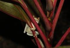 Dichte Omhooggaand van de boomkikker in wildernis stock afbeeldingen