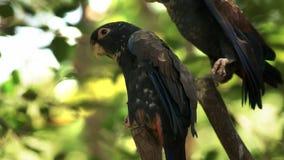 Dichte omhooggaand van de brons gevleugelde papegaai in Ecuador stock video