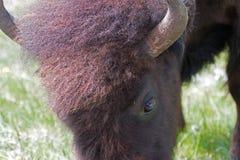 Dichte omhooggaand van de buffelskoe in Lamar Valley in het Nationale Park van Yellowstone in Wyoming de V.S. stock foto