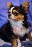 Dichte Omhooggaand van de Chihuahuahond Stock Afbeeldingen