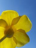 Dichte omhooggaand van de Colorfull gele bloem Stock Afbeeldingen