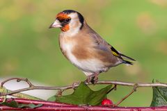 Dichte omhooggaand van de distelvink wilde vogel op struik Royalty-vrije Stock Foto's