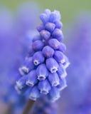Dichte omhooggaand van de druivenhyacint stock foto's