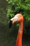 Dichte omhooggaand van de flamingo Royalty-vrije Stock Fotografie