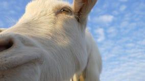 Dichte omhooggaand van de geit stock footage