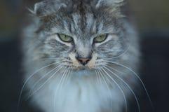 Dichte omhooggaand van de gestreepte katkat Stock Afbeelding