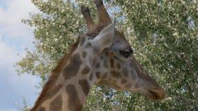 Dichte omhooggaand van de giraf stock video