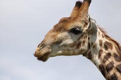 Dichte omhooggaand van de giraf Stock Afbeeldingen