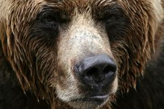 Dichte Omhooggaand van de grizzly Stock Afbeelding