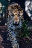 Dichte omhooggaand van de het noorden Chinese luipaard Stock Foto's