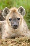 Dichte omhooggaand van de hyena Stock Foto's