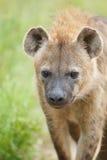 Dichte omhooggaand van de hyena Royalty-vrije Stock Afbeeldingen