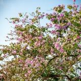 Dichte omhooggaand van de kersenboom Stock Foto's