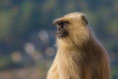 Dichte omhooggaand van de Languraap, India Ondiepe Diepte van Gebied stock foto