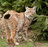 Dichte omhooggaand van de lynx bobcat Stock Afbeelding