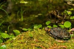 Dichte omhooggaand van de moerasschildpad royalty-vrije stock foto's