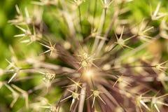 Dichte omhooggaand van de naalden of de stekels van een Echinocereus-speciescactus plant hierboven gezien van, hoge hoekmening stock foto