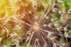 Dichte omhooggaand van de naalden of de stekels van een Echinocereus-speciescactus plant hierboven gezien van, hoge hoekmening stock fotografie