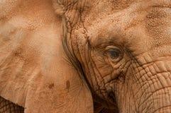 Dichte omhooggaand van de olifant Stock Fotografie