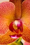 Dichte Omhooggaand van de orchidee Stock Foto's