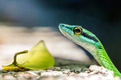 Dichte Omhooggaand van de papegaaislang - Costa Rica Royalty-vrije Stock Fotografie