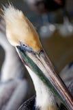 Dichte omhooggaand van de pelikaan bij het strand. Stock Foto
