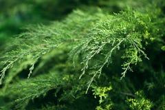 Dichte omhooggaand van de relict groene struik, de achtergrond van de groenaard stock afbeelding