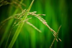 Dichte omhooggaand van de rijst Royalty-vrije Stock Foto