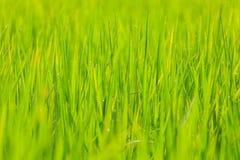 Dichte omhooggaand van de rijst Royalty-vrije Stock Fotografie